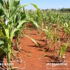 No foiling these plants: Aluminum-resistant maize