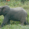 African Forest Elephant Population Plummeting